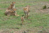 Day 3: Cheetahs Playing With Their Prey