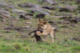Day 4: Young Lion Playing With A Dead Young Warthog
