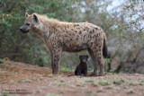 Day 6: Baby Hyena With Mom