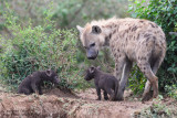 Day 6: Baby Hyenas With Mom