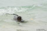 Santa Cruz - Marine Iguana