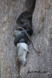 Black Rat Snake and rat
