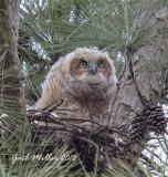 Great Horned Owl Nest At CHDC