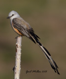 Scissor-tailed Flycatcher, male