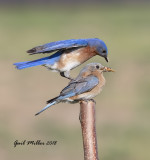 The Eastern Bluebirds just seemed to be begging for a house in this area, so I bought one and put it up.  Success!!