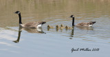 A 'new' Canada Goose family.  I believe these goslings were hatched at the nearby Tokusen tire plant, but was glad that they found their way over to the Petco ponds.  Much safer there!