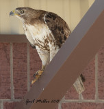 Immature Red-tailed Hawk