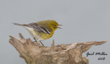 Pine Warbler  Winter 2018, I had my first Pine Warbler at my house.  Returned December 2018.