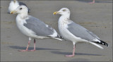 Glaucous-winged x Herring Gull (Cook Inlet Gull) with HERG at right.