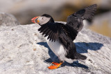 Puffin stretching his wings
