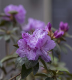 Now the azaleas are blooming!