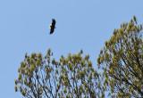 Mother bald eagle heading back to nest