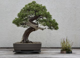 National Arboretum Bonsai