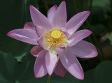 The perfect lotus