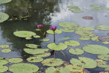 In the exotic lily pond