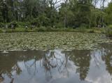 An abundance of water lilies