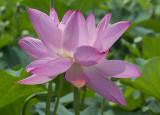 Lit-up lotus
