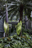 Corpse flower ready to bloom