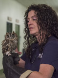 Belle, the eastern screech owl