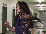 Sundance, the Harris's hawk