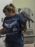 Lance, the gyr-saker falcon