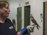Bo, the American kestrel