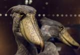 Objects of Wonder: Shoebills