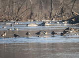 Geese at Great Falls