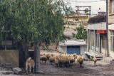 Kangal and its flock in Ortahisar
