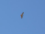 Red-tailed hawk high above Fort Washington