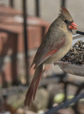 Mrs. Cardinal poses for another portrait