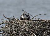 Mother osprey on her nest