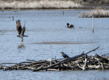 Osprey catches its lunch