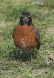 Robin head-on