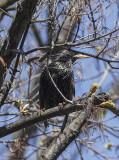 Silvery starling