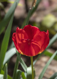 Shadowed tulip