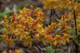 Farewell to the flame azaleas