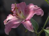 My neighbor's lily