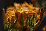 A blaze of lilies