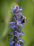 Bee enjoying a blossom
