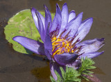 Water lily glow