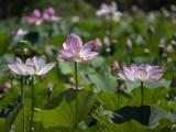 An abundance of lotuses