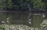 Fishing egrets