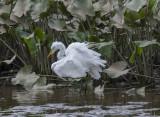 The Great Egret encounter: Disheveled