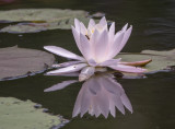 Water lily and visitors