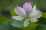 Lotus lines