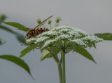 Too close for comfort: Eastern Cicada Killer (wasp)