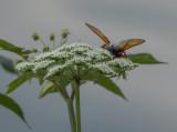 Rear view of a Cicada Killer