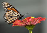 Colorful monarch, colorful flower