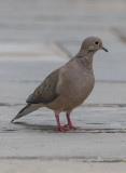 The accommodating dove